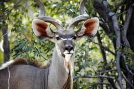 kudu 1