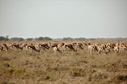 springbok