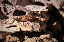 termite 1