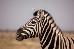 zebra 3.1